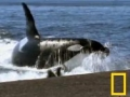 Interesting - Killer Whale vs. Sea Lions - English